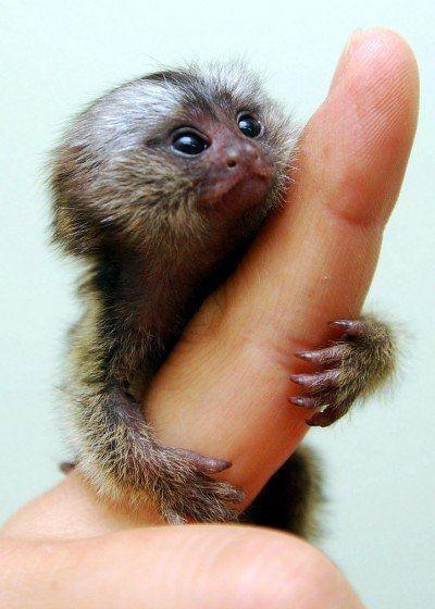 baby-monkey