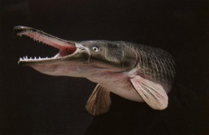 Alligator Fish