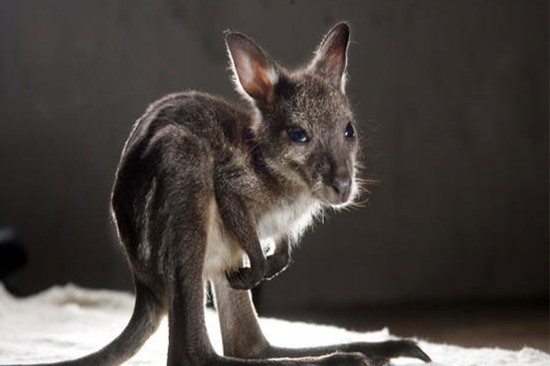 Pictures of a baby kangaroo