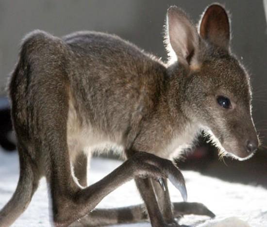 legs kangaroo