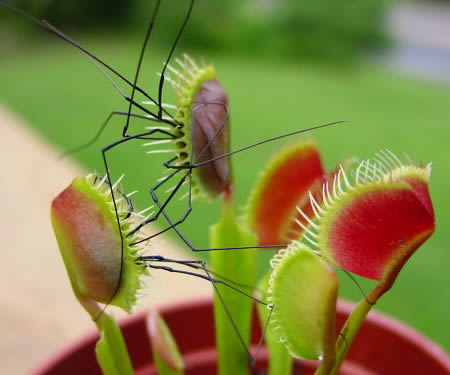 Carnivorous plant insect