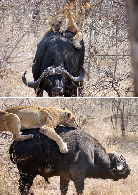 A lioness attacking a buffalo