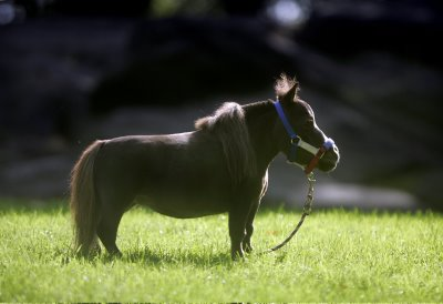 Thumbelina is the world smallest horse. 5 years old and 17 inches tall ...
