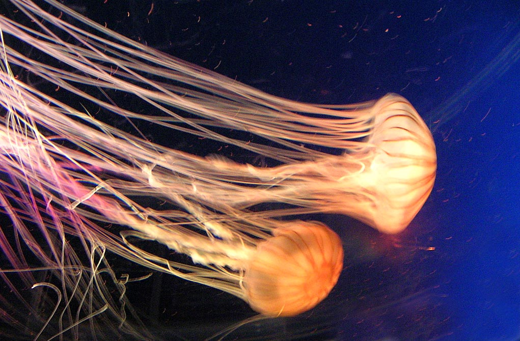 A big jellyfish
