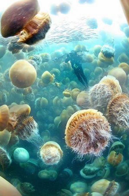 giant jellyfish picture
