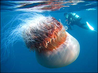 A huge jellyfish