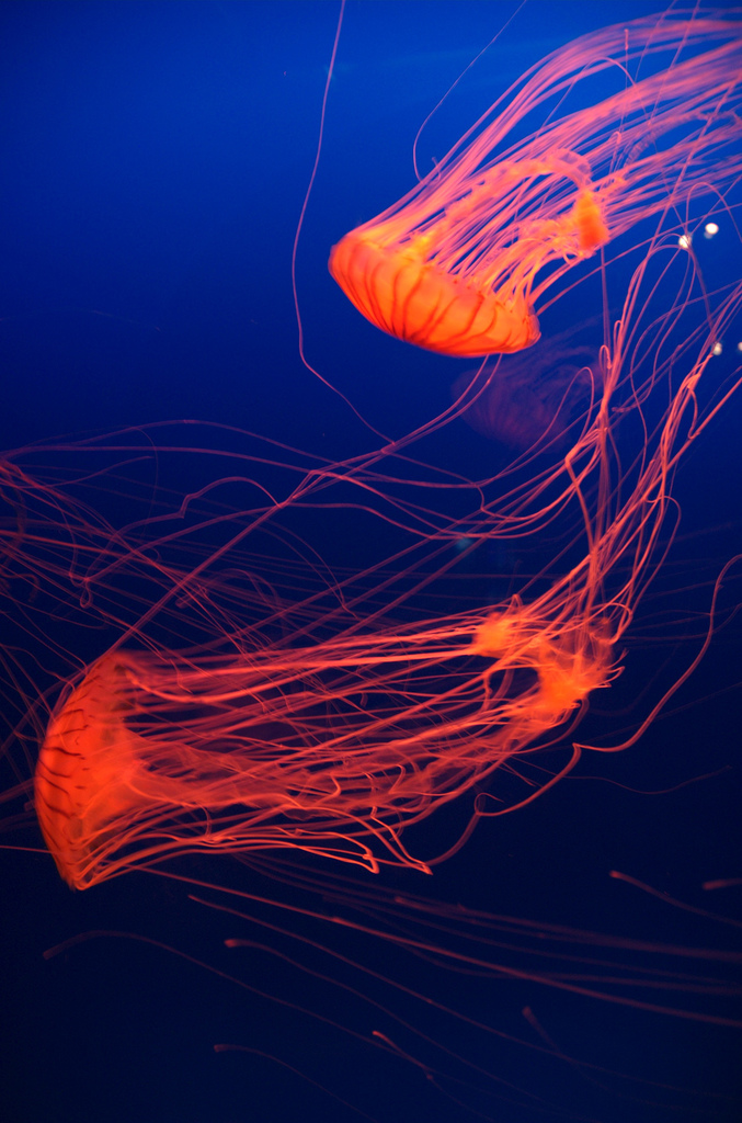 2 red jellyfish