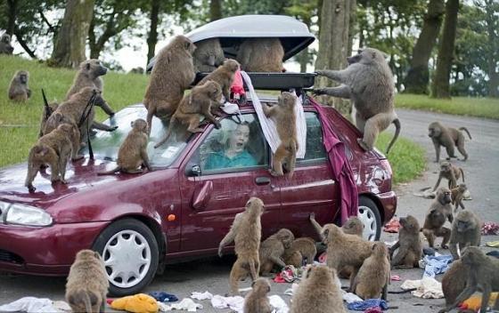 funny-baboon.jpg