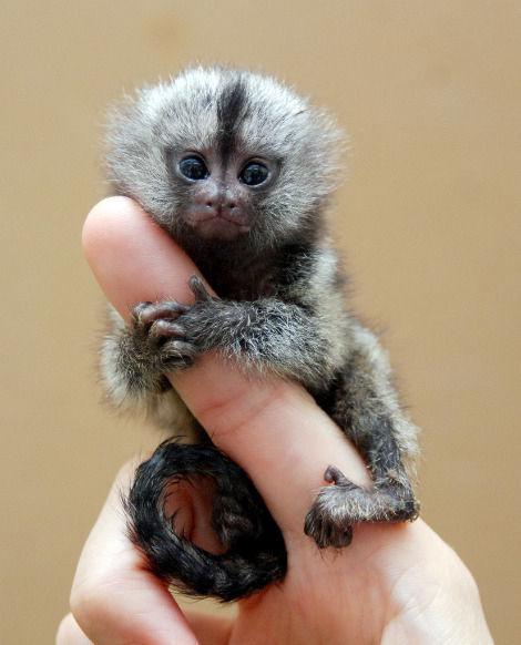 Finger Monkeys! Pictures And Information About Finger Monkeys