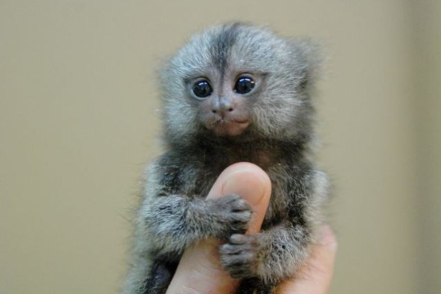 small finger monkey