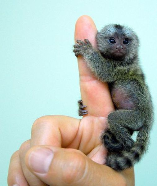 Finger Monkeys  - Small Monkey