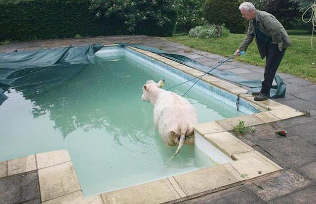 cow pool