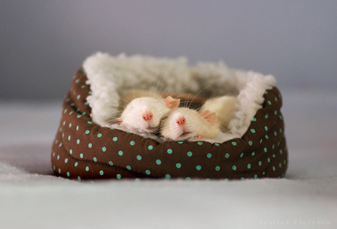Pictures of very cute rats some pictures of very cute rats