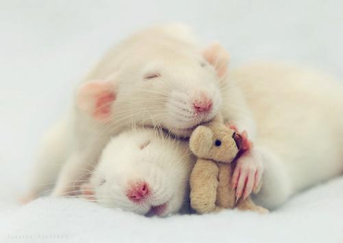 http://www.funny-potato.com/images/animals/rats/domestic-rat.jpg