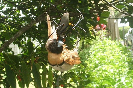 A spider eating a bird! - Pictures!  A spider eating...