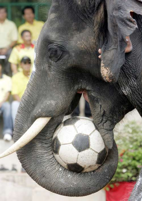 http://www.funny-potato.com/images/elephants-soccer/elephant.jpg